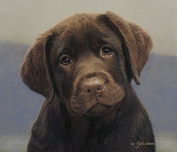 Labrador Retriever Chocolate Lab Puppies